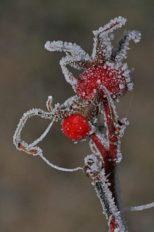Rose Hip, Fruit, Plant, Berry, Ice, Frost, Ripe, Cold