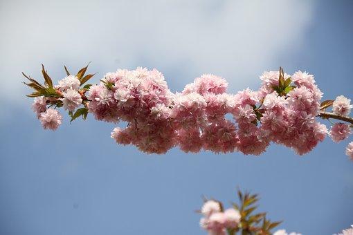 Prunus, Branch, Flowery Branch, Nature, Tree, Garden