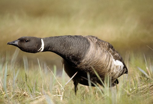 Brent Goose, Nature, Outside, Defensive Position, Grass