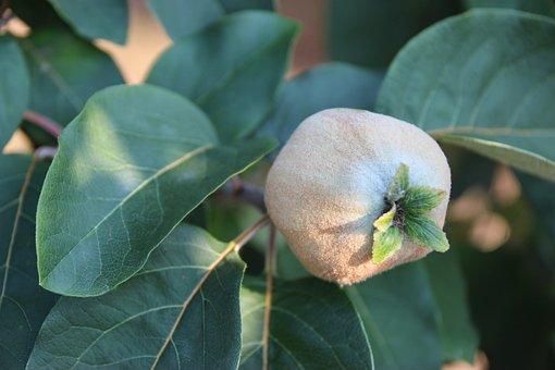 Peach, Growing, Tree, Ripening, Fruit