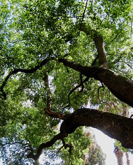 Tree, Huge, High, Strong, Dense, Shade, Thick Branches