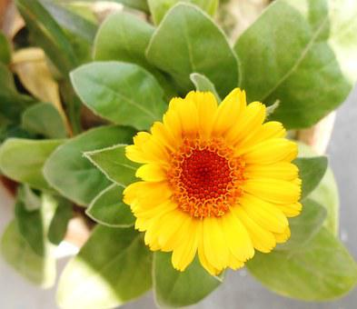 African Marigold, Flower, Yellow, Natural, Nature