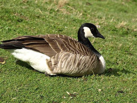 Sea Goose, Bird, Goose, Nature, Branta