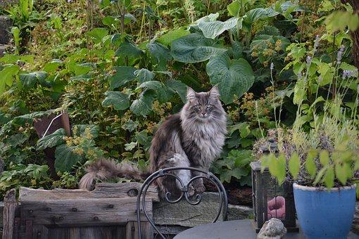 Norwegian Forest Cat, Nature, Garden