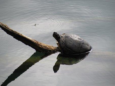 Turtle, Animal, Animals, Panzer, Lake, Nature, Water