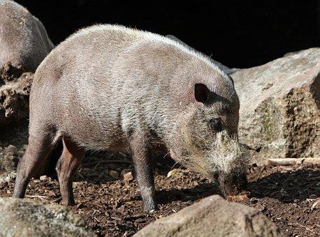Pig, Bearded Pig, Animal, Wild, Wildlife, Nature, Photo