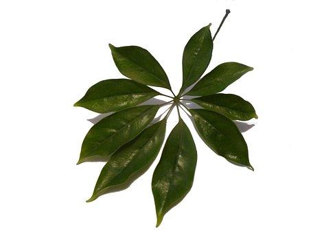 Schefflera, Sheet, Plant, Green, One, Pet, Tropical