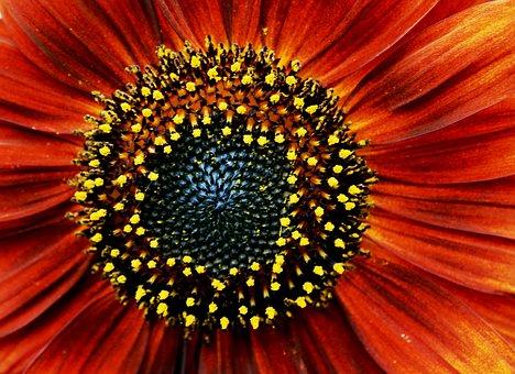 Sunflower, Red, Orange, Pollen, Yellow, Specks