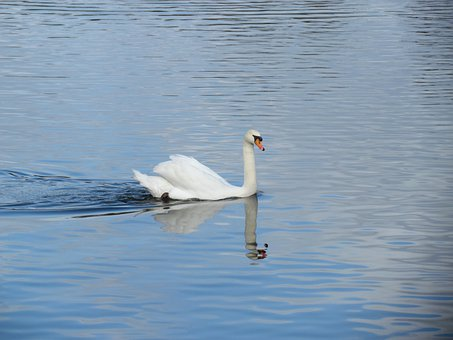 Swan, Animal, Water Bird, Feather, Animals, Bodnar