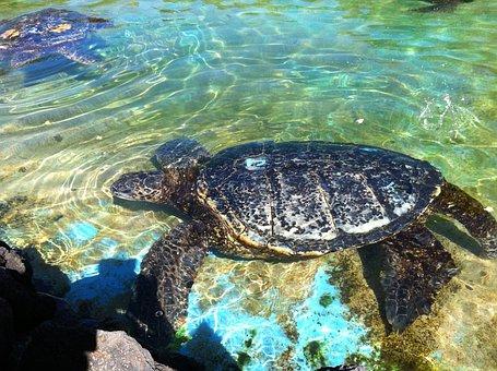 Turtle, Hono, Swimming Turtle, Hawaiian Turtle