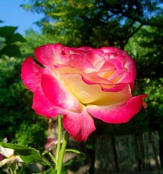 Three Colour Roses, Flower Garden, Summer Flower