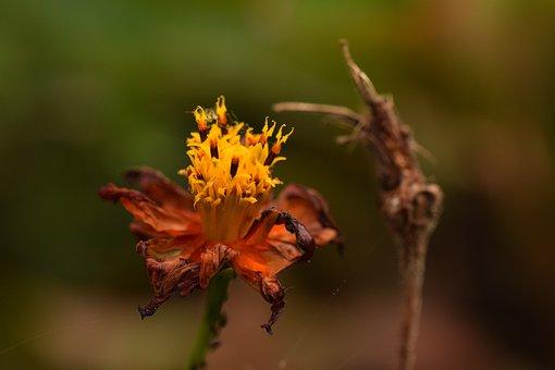 Wilted Flower, Flower, Orange, Nature