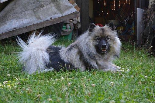 Wolfsspitz, Wood, Dog, Spitz