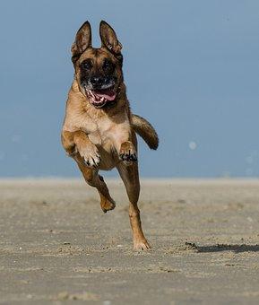 Malinois, Running Dog On Beach, Belgian Shepherd Dog