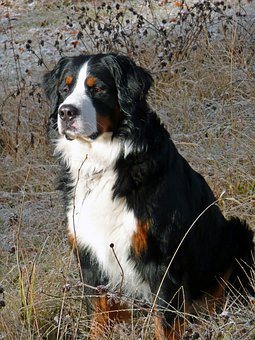 Bernese Mountain Dog, Berner Sennenhund, Dog, Canine