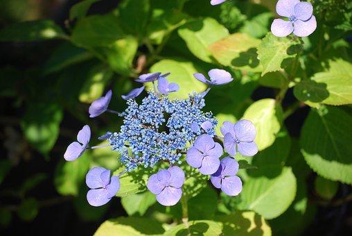 Hydrangea, Garden, Flowers, Blossom, Bloom, Nature