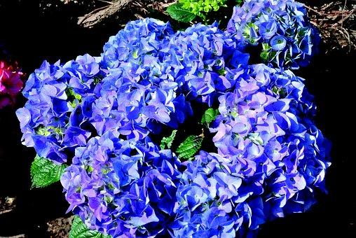 Hydrangea, Blue, Blossom, Bloom, Flower, Garden, Nature