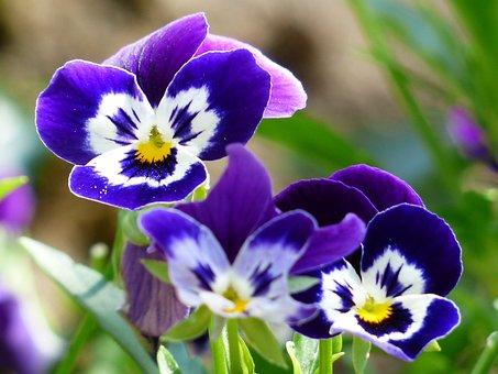 Pansy, Flower, Blossom, Bloom, Blue, Violet, White