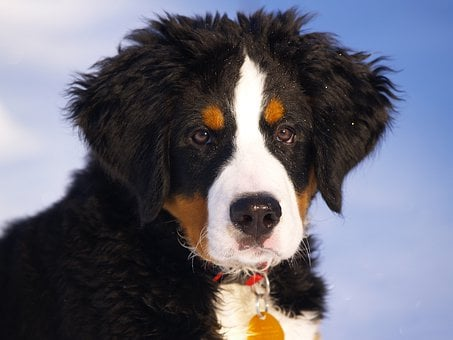 Bernese Mountain Dog, Puppy, Animal, Dog, Canine, Pet