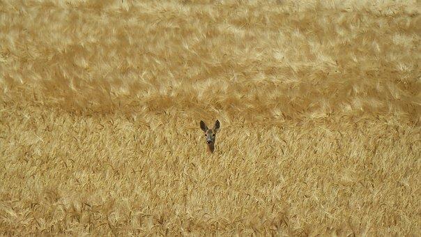 Roe Deer, Hidden, Cornfield, Wild Animal, Red Deer