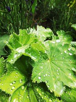 Frauenmantel, Drip, Drop Of Water, Leaf, Green, Macro