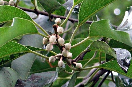 Mimusops Elengi, Buds, Tropical, Spanish Cherry, Medlar