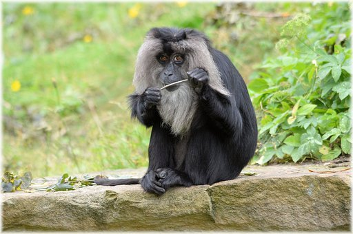 Lion-tailed Macaque, Monkey, Rare, Wild, Exotic, Forest