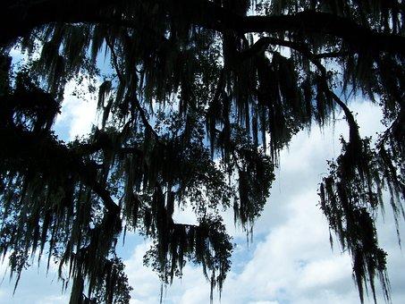 Spanish Moss, Oak Tree, Silhouette, Tree, Organic