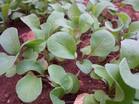 Arugula, Plants, Araguari, Salad, Garden