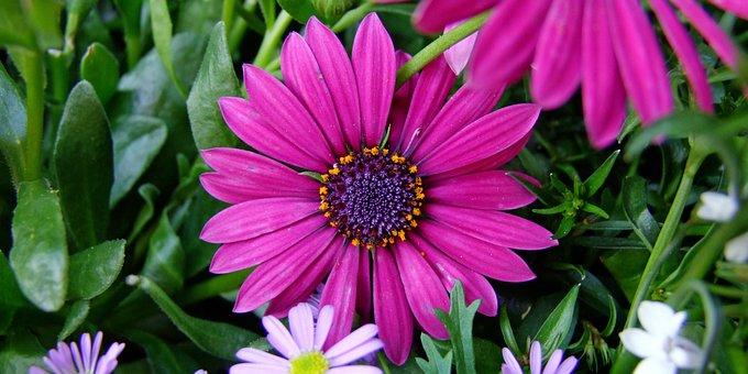 Flower, Cape Basket, Spanish Marguerite, Purple, Pink