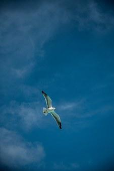 Clouds, Blue, Gabiota, Bird, Seagull, Sky