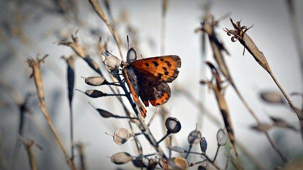 Butterfly, Small Fire Falter, Insect, Summer, Garden