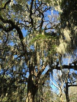 Savannah, Spanish Moss, Tree, Park, Nature, South, Usa