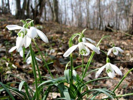 Snowdrops, śnieżyczki, Spring, Forest, Flowers, Plants