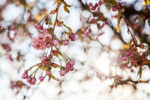 Sakura, Flowers, Spring, The Buds