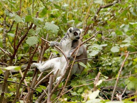 Lemur, Zoo, Tree, Young, Animal, Mammal, Wild, Monkey
