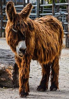 Donkey, Zoo, Wilhelma, Zottliger Ass
