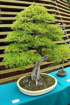 Bonsai Tree, Green Tree, An Unusual Tree
