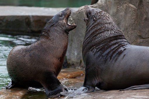 Angry, Animal, Animals, Fight, Sea Lion, Sea Lions