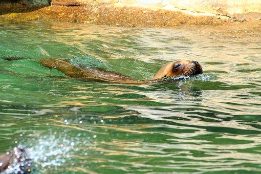 Sea Lion, Water, Head, Wet, Animal World, Animal