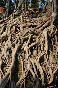 Roots, Trees, Banyan, Ficus, Woods, Woody, Wooden