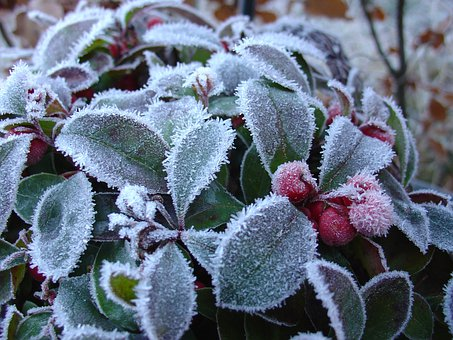 Winter, Frost, Gaultheria, Green, Berries