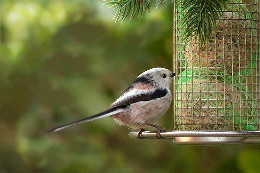 Bird, Long Tailed Tit, Small, Garden, Foraging