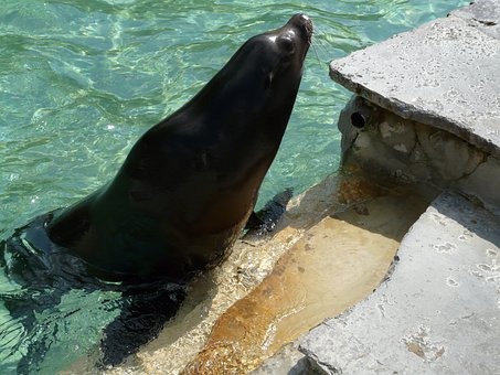 California Sea Lion, Sea Lion, Seal Pelts, Water, Play