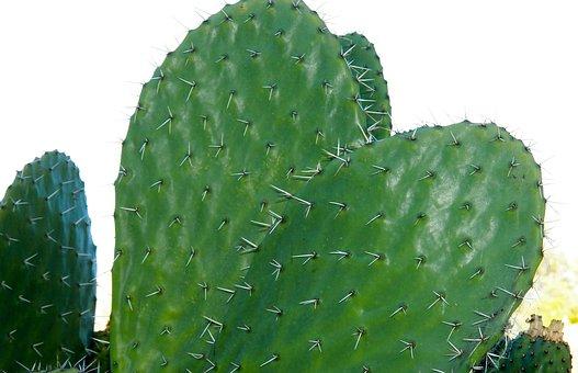 Cactus, Nature, Century Plant, Thorn, Prickly, Plant