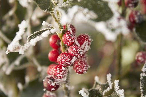 Winter Tree, Cold, Hoarfrost, Berry Red
