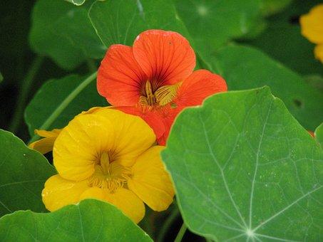 Nasturtium, Cress, Blossom, Bloom, Flower, Calyx