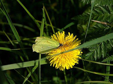 žluťásek, Dandelion, Macro, Medical, Green, Grass