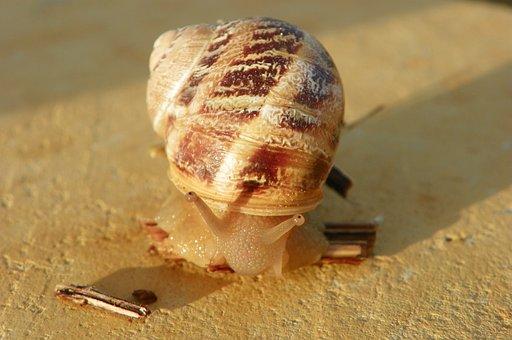 Snail, Edible Snail, Cantareus Aspersus, Shell, Edible