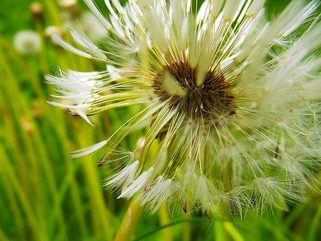 Dandelion, Fluff, Macro, Dandelions, Faded, White
